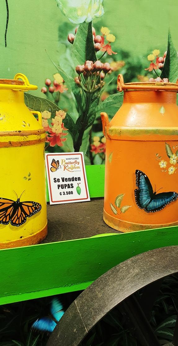 dandovueltascr-butterflykingdom7